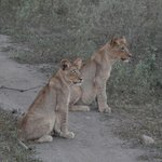 8 month boy and girl lion cubs