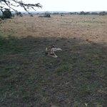 Narasha the Pregnant Cheetah from Bush ride