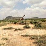 Elegant giraffe from Bush ride