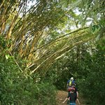Huge Bamboo trees on the trail to the river