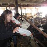 Bottle feeding calves