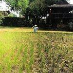 Rice field at Hotel garden