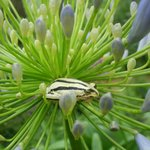 Found this little guy on an Agapanthus on our walk from the lodge.