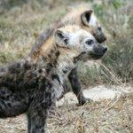 Hyaena pups