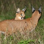 Caracals can be seen, especially on night drives