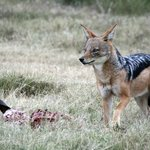 Black-backed jackals can be seen on the reserve