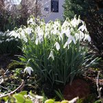 Beautiful snowdrops in hotel grounds