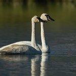Trumpeter Swan Pair Red Rock Lakes NWR