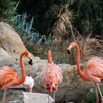 Very Pink Flamingoes