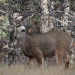 Mule deer at AFA