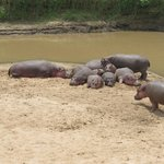 Hippos on the beach outside tent #4