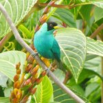 green honeycreeper from the veranda