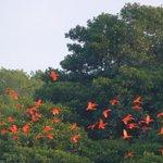 scarlet ibises at Caroni