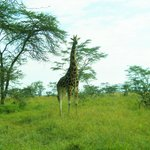 Just one of the many giraffes to see
