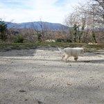 cucciolo di pastore abruzzese