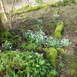 Snowdrops everywhere