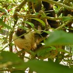 Sloth hiding in trees