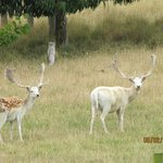 Our friendly pet Fallow Deer