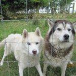 Our Siberian Huskies, Sumba & Bess