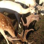 Feeding the Fallow Deer