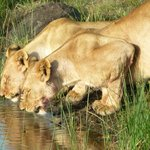 Lions enjoying a sundowner.