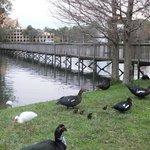 4 baby ducks by nature walk/pond