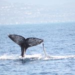 got this shot whilst on a Captain Dave whale watching trip. it was a terrific trip, you should t