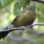 A Bell bird