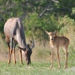 Halbmondantilope