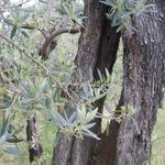 Olive trees can grove to over 2,000 years old in the Sabina region, Italy