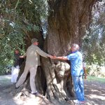 Largest Olive tree in Europe- visited during the olive oil tour