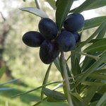 olives come in all different shades: green, to brown to black