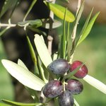 Olives changing colour