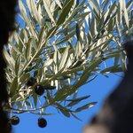 Olives against blue sky- ready for harvest