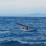 Whale Tail in the Bay at Kaikoura