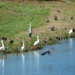Aves en la laguna.