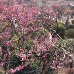 斜面に咲く梅