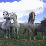 Ponies on National Trust coast