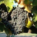 Grenache fruit from the Larner Vineyard