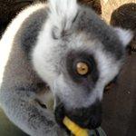 Lemur sitting on my lap enjoying sweetcorn