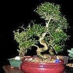 Serissa, beautiful bonsai with white tiny flowers.