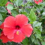 Flawless Hibiscus