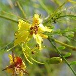Palo Verde Blossom