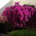 Bougainvilla in bloom. One of many.