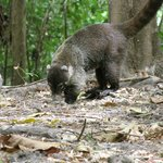 Coati cared for at the resort named Charlie