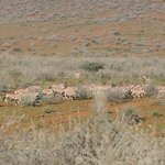 Oryx herd with Springboks