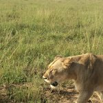 Close encounter with Lions