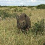 Black Rhino up close