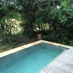 Nyala drinking from our plunge pool