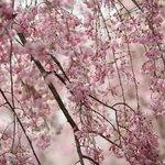 春爛漫の境内